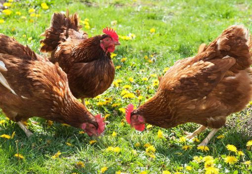 Chickens are Smarter than you Think