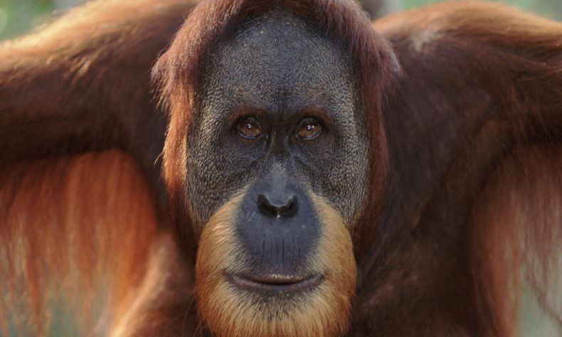 A Dating App for lonely Orangutans
