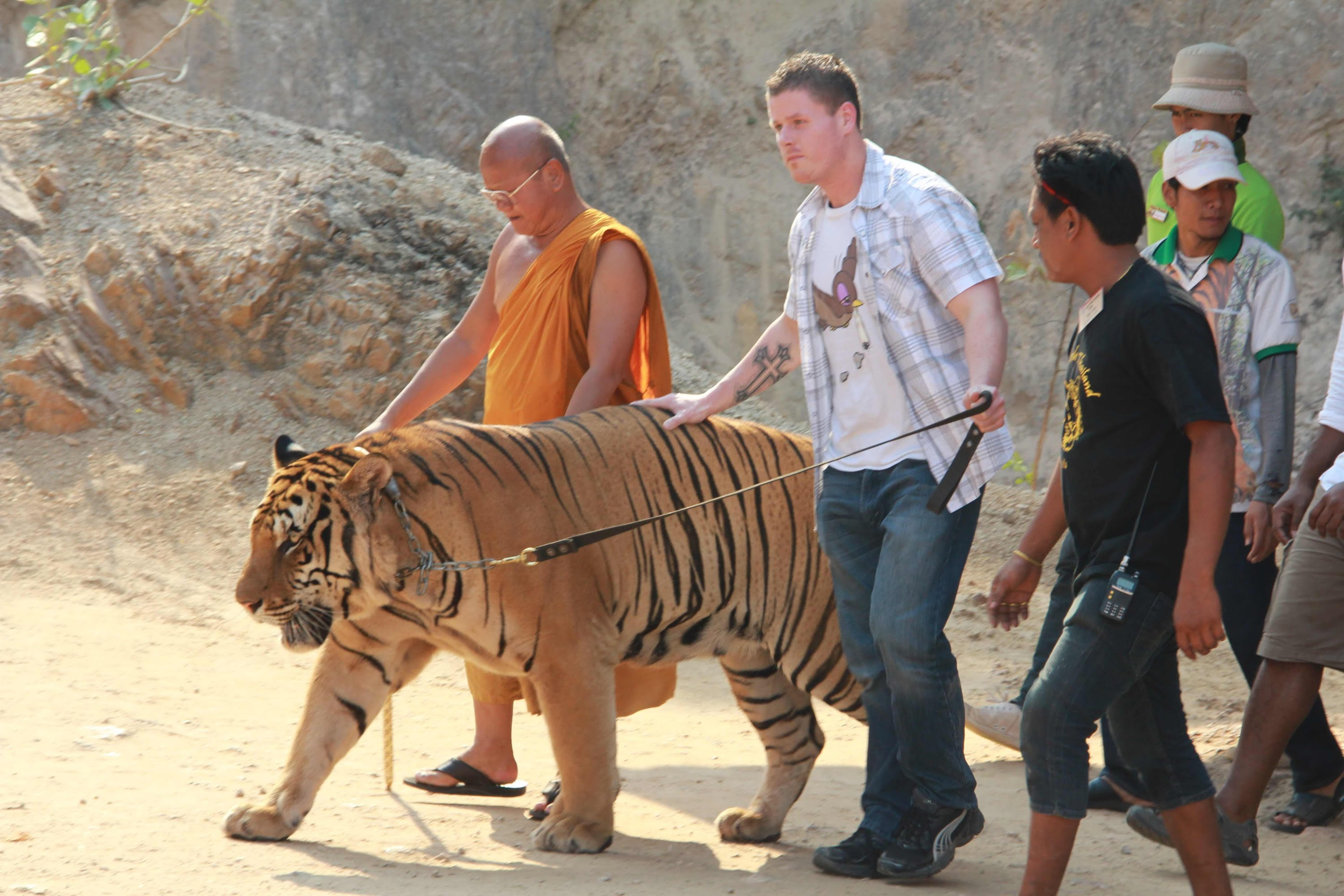 Pity the Tigers: Thailand's infamous 'Tiger Temple' will ...