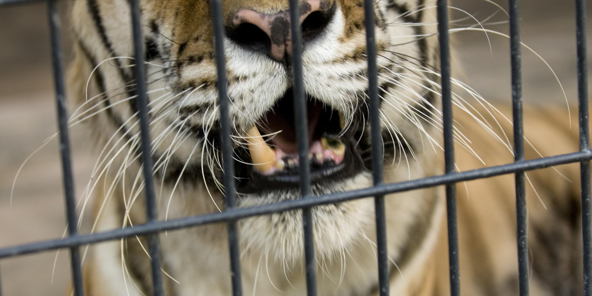 malaysian man kept a tiger a leopard cat and a caiman as