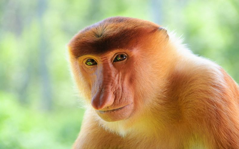 Saving Sabah's Proboscis Monkeys