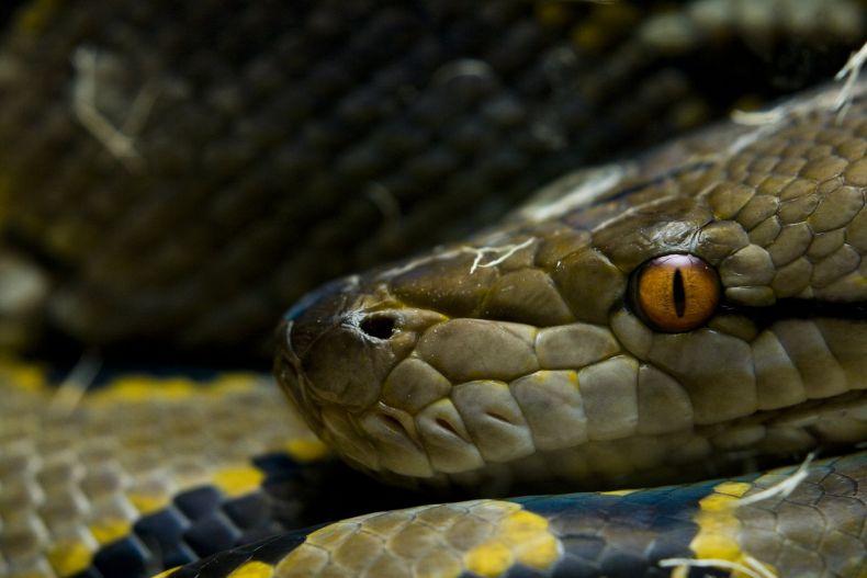 Johor fisherman catches '8m' Python