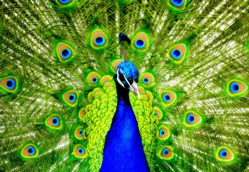 Peacocks lose out to Traditional Medicine
