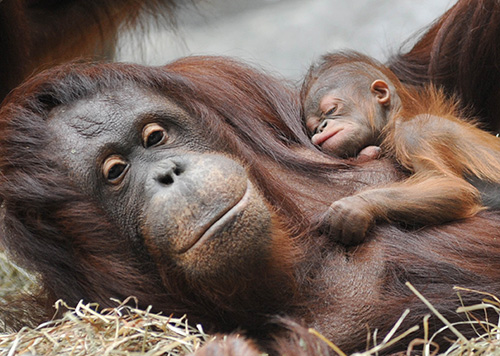 A Baby Orangutan Is Born At A Wildlife Center In Sarawak