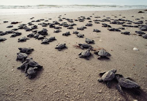 Sea Turtles are back in Terengganu