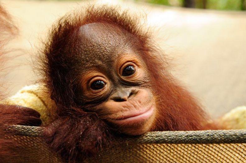 A Baby Orangutan is born at a Wildlife Center in Sarawak
