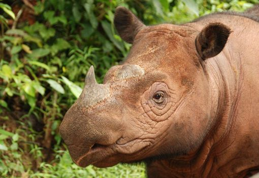Surgery saves Puntung the Rhino