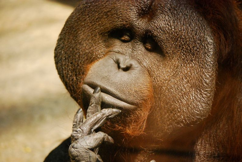 Orangutans Know when you Don't Know