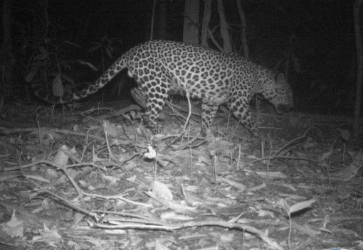 Where Leopards (still) Roam