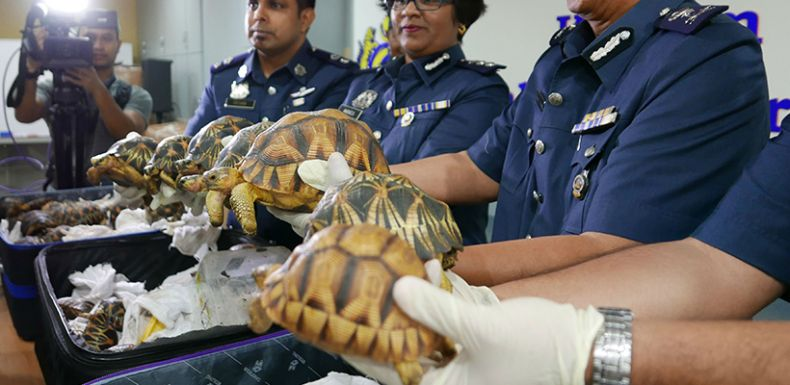Hundreds of rare Tortoises from Madagascar are Discovered at KLIA