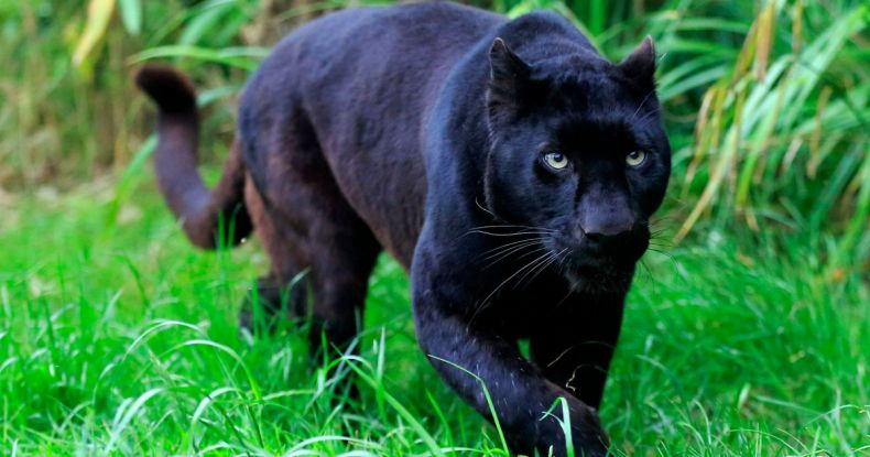 A Black Panther dies on a Pahang Road