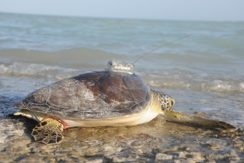 Two Turtles head back into the Ocean