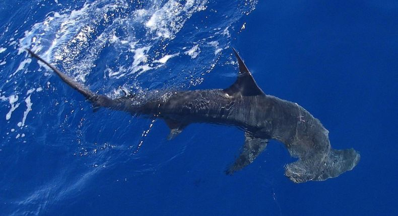 More Sharks will be Protected in Sabah