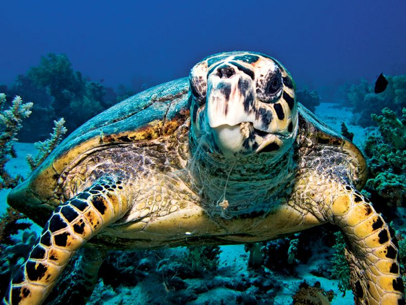 Coastal development in the Straits of Malacca harms Corals and Turtles