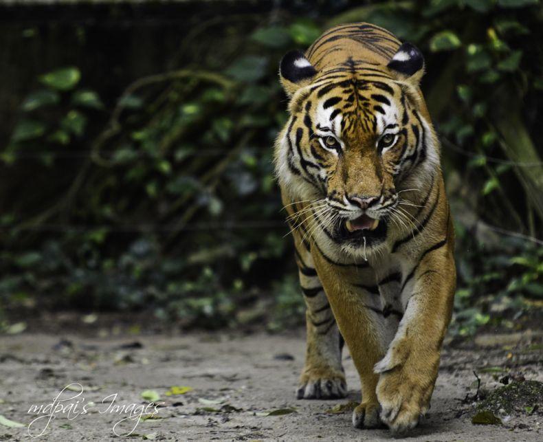Seeking to End Tiger Poaching in Malaysia