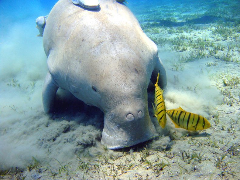 Two Dugongs make a Rare Appearance