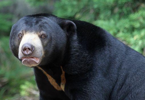 In Praise of Malaysia's Sun Bears