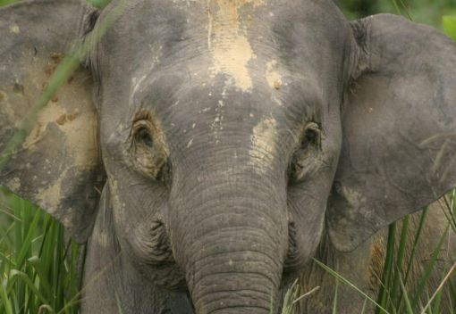 A Wild Elephant is Shot dead in Sabah