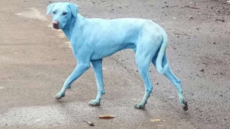 Dogs in India turn Blue … from Water Pollution