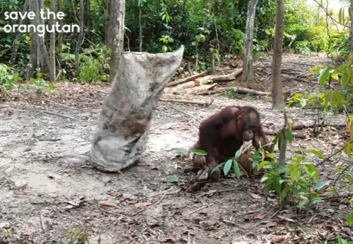 Orangutans are Wonderful Creatures: They even Play Peekaboo