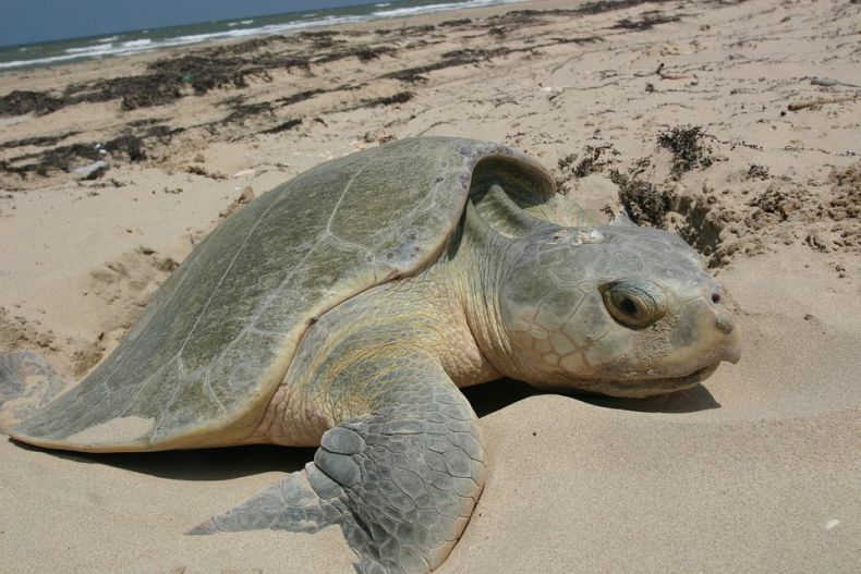 A Lucky Break for Turtles in Pahang