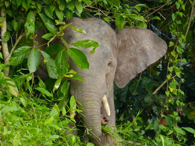 Two more Pygmy Elephants are Killed