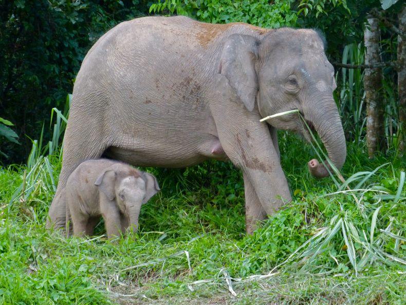 Pygmy Elephants face an Uncertain Future