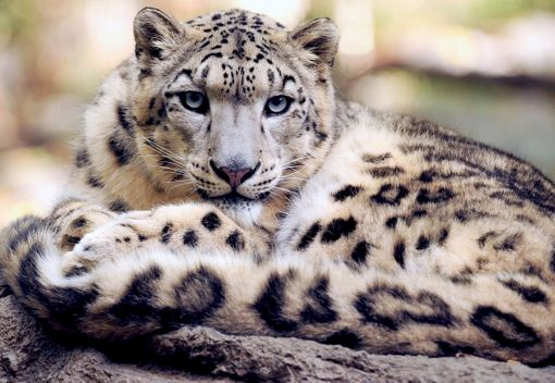 Snow Leopards are on the Rebound