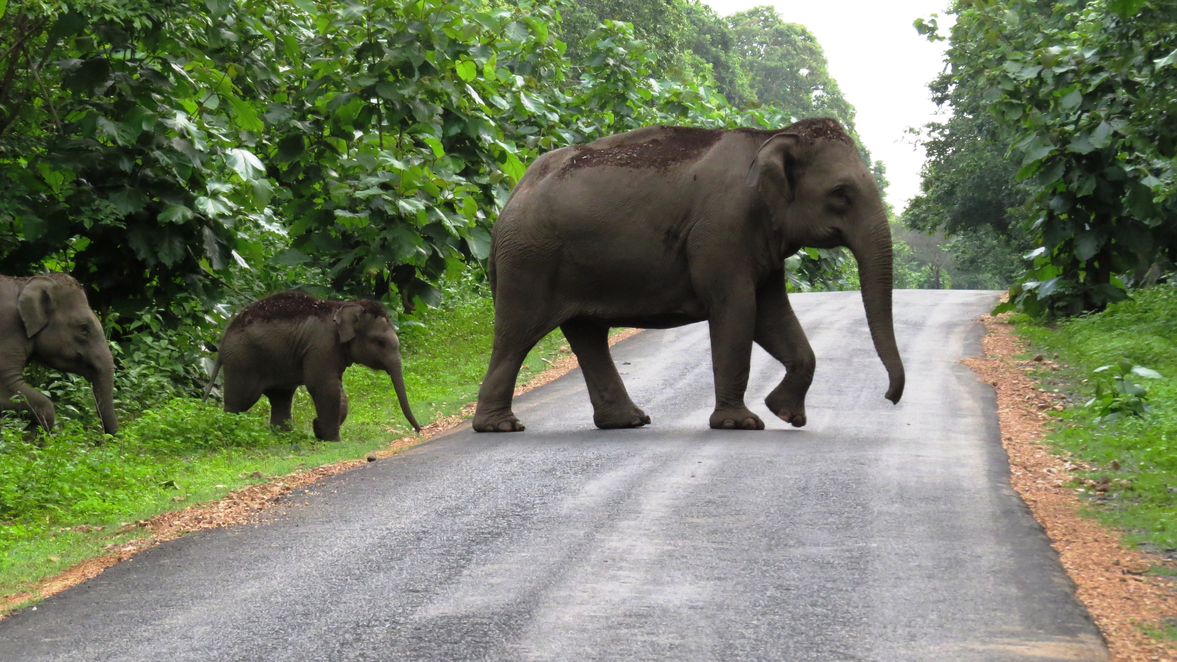 Wild Elephants 'can Inflict Harm on Plantations.' So What ...
