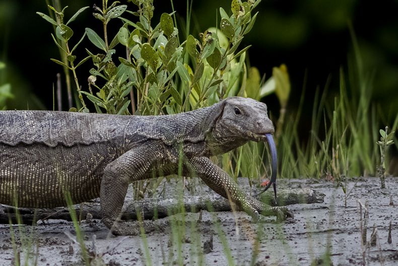 Monitor Lizards thrive at Oil Palm Plantations. That's not a Good Thing