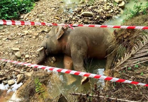 Another Pygmy Elephant is Shot Dead