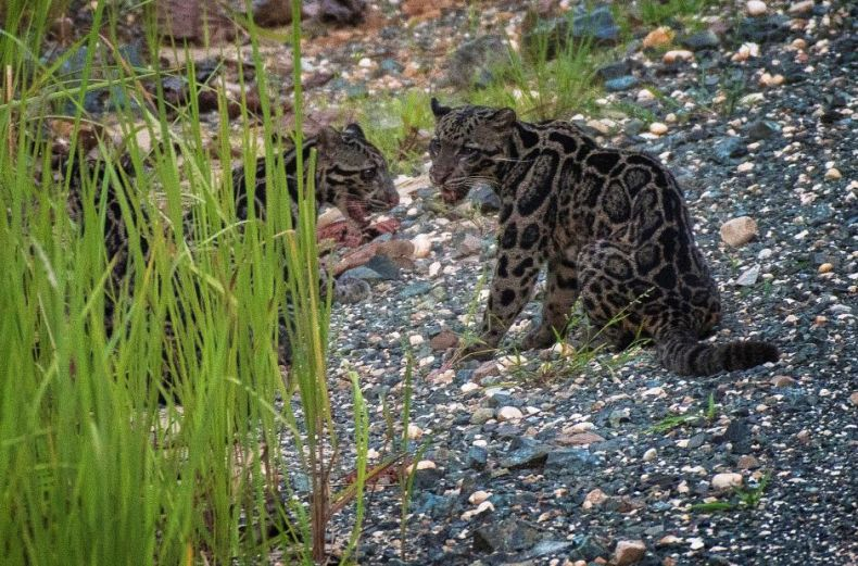 Three Sunda Clouded Leopards were Caught … on Camera