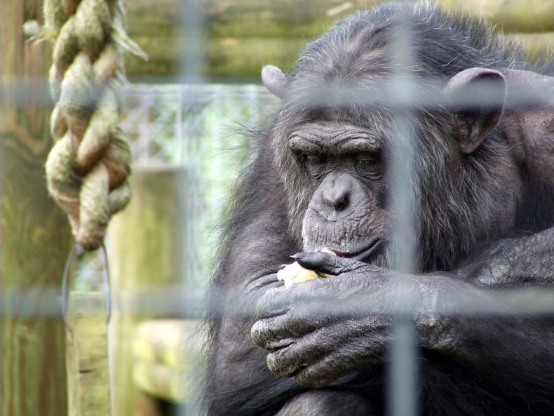 Shining a Light on the Plight of Three Chimps in Pahang
