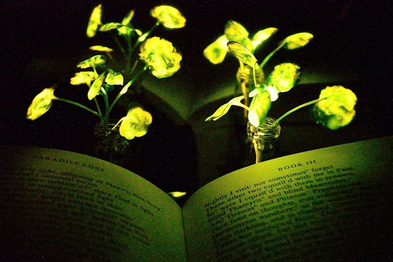 Plants are Made to Act as Lamps