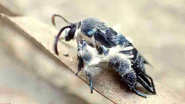 A Bee-like Moth long Believed Extinct has been Rediscovered in Pahang