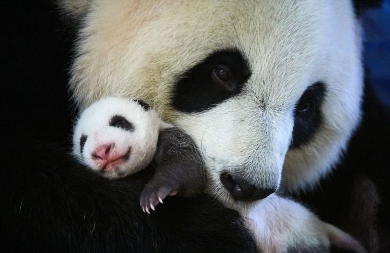 It's a Girl! Malaysia Welcomes another Panda Cub