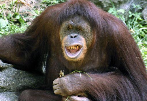 Bornean Orangurans self-Medicate
