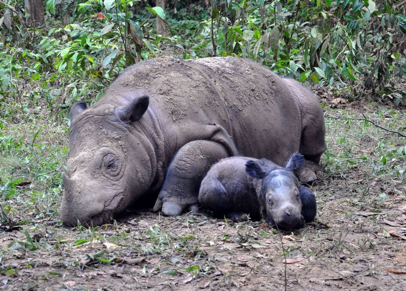Are we seeing the Last of Malaysia's Rhinos?
