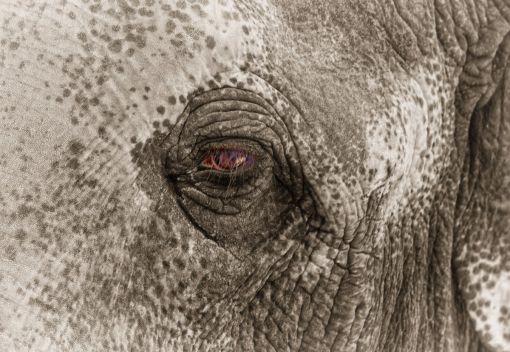 Yet Another wild Elephant Dies, in Gerik