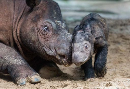 New Hope for Malaysia's last Rhinos?