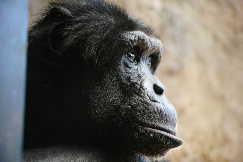 A Chimp was Shot dead at a Zoo in Langkawi, activists tell Clean Malaysia