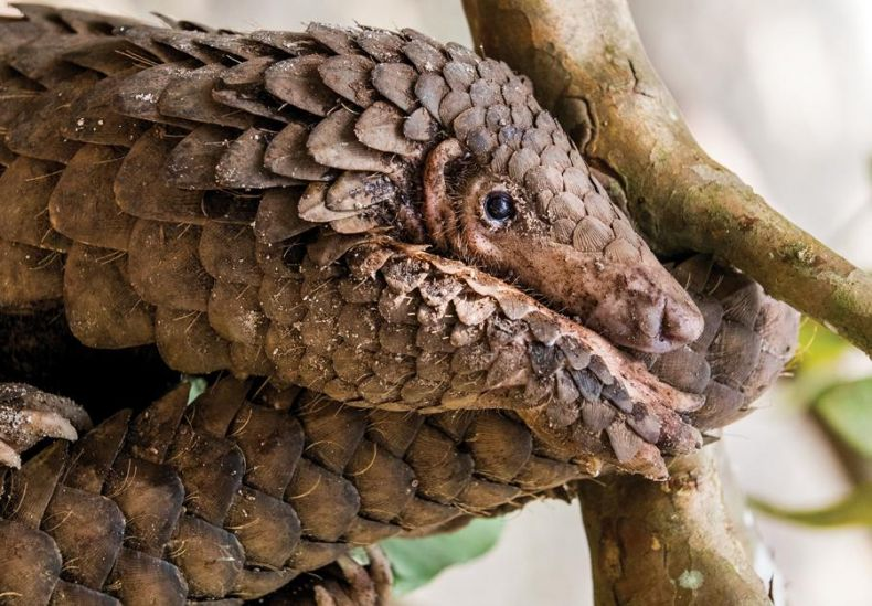 Pity the Poor Pangolins