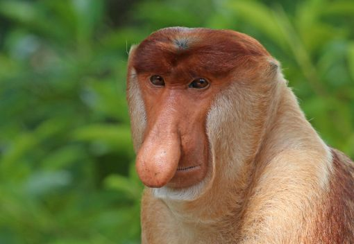 Why the Long Nose on Proboscis Monkeys? It's about Showing Off!