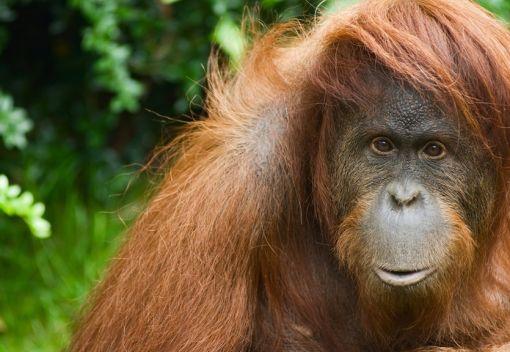 Murdering Orangutans in Indonesia
