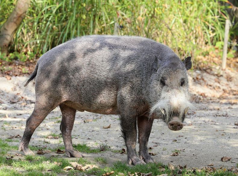 Wild Bearded Pigs are taking Advantage of Oil Palm Plantations in Sabah