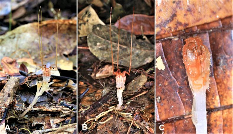 A 'Fairy Lantern' is Rediscovered in Sarawak after 150 Years