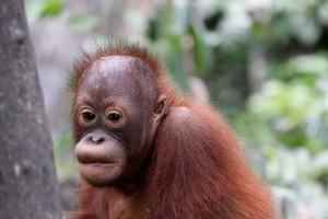 Endangered Baby orangutan, Malaysia. by Daniel Kleeman @flickr