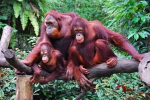 endangered species in Malaysia, orangutans in malaysia, orangutan protection, orangutan conservation, save the orangutans, wildlife in malaysia, illegal wildlife trade, illegal poaching, perhilitan