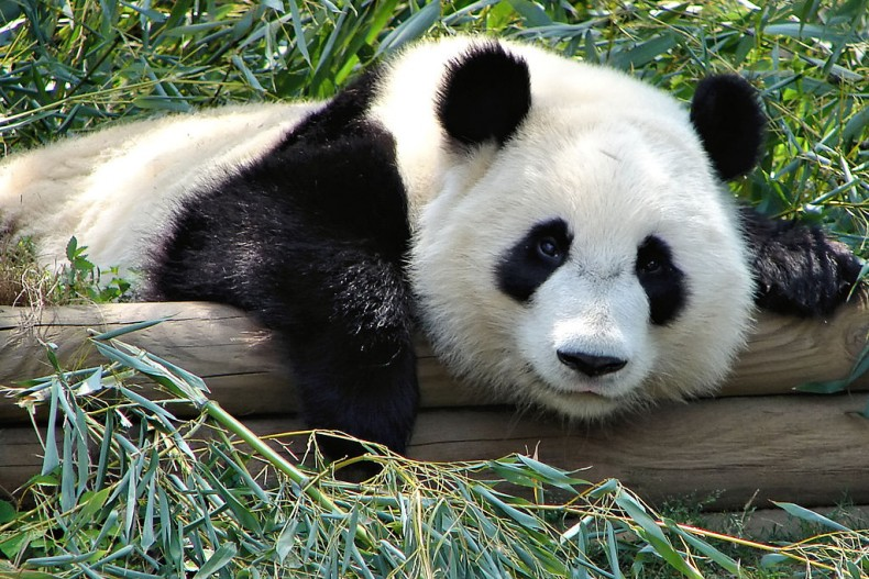 Giant Pandas too Expensive for Malaysia?