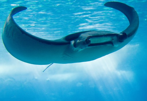 Endangered Manta Rays Discovered in Malaysia